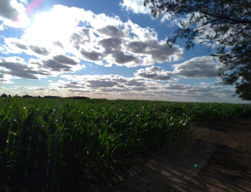 El maíz más rentable y más estable