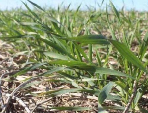 Fertilizantes baratos para el trigo
