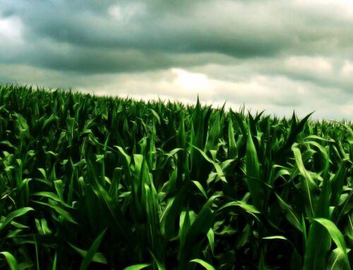 La nutrición deficiente genera grandes brechas en maíz